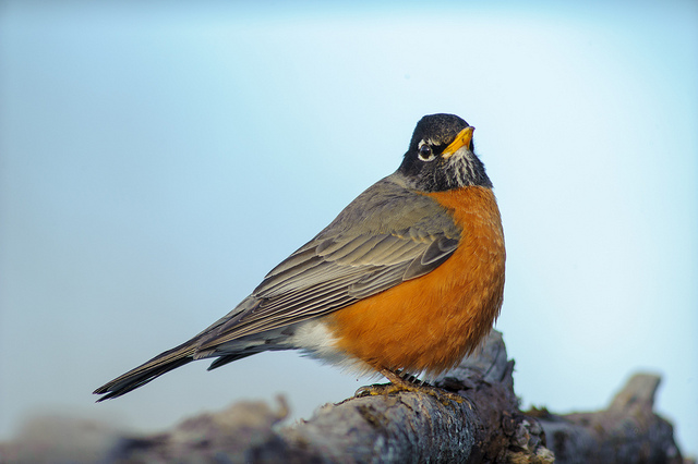 Robin, by Chris Heald