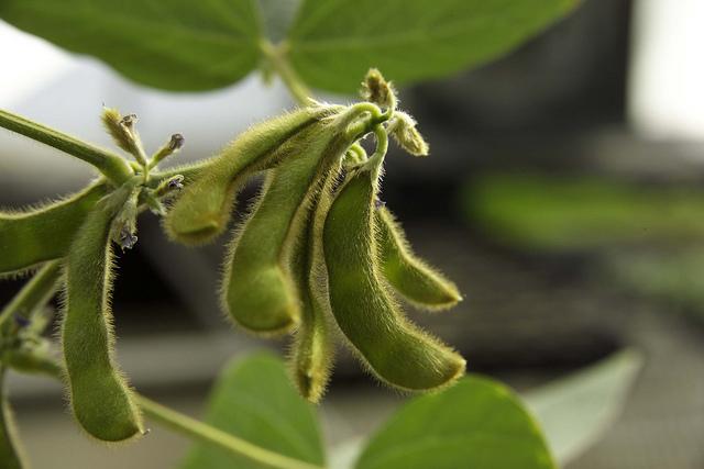 Soybean Dataset